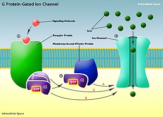G protein-gated ion channel - Generalized diagram of G protein-gated ion channel: (A) Typically, the activated effector protein begins a signaling cascade which leads to the eventual opening of the ion channel. (B) The GTP-bound α-subunit in some cases can directly activate the ion channel. (C) In other cases, the activated βγ-complex of the G protein may interact with the ion channel.