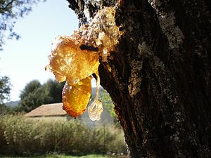 Resin - Resin dripping from an almond tree