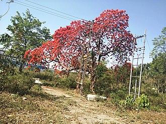 Delonix regia - Gulmahor tree (Delonix regia) with flowers, Haridwar, India.