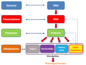 "Lipidomics - General schema showing the relationships of the lipidome to the genome, transcriptome, proteome and metabolome. Lipids also regulate protein function and gene transcription as part of a dynamic ""interactome"" within the cell."