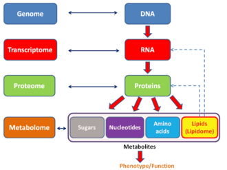 Proteome - General schema showing the relationships of the genome, transcriptome, proteome, and metabolome (lipidome).