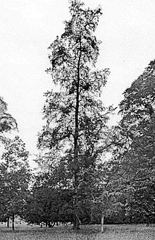 Plot Elm, Westonbirt, UK, before 1913.jpg