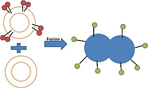 Lipid bilayer fusion -  (3.) Illustration of lipid mixing assay based on Fluorescence self-quenching.