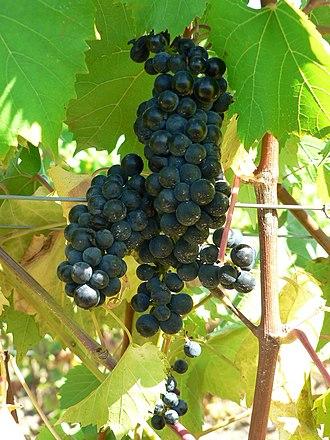 Marechal Foch - Ripe clusters of Marechal Foch on the vine.