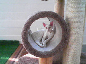 Female Devon Rex in cat tree.