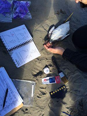 COASST - COASST citizen science volunteers identifying a seabird carcass in Ocean Shores, WA.