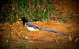The yellow-billed blue magpie or gold-billed magpie