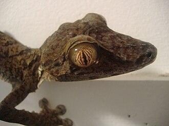 Uroplatus - Uroplatus fimbriatus