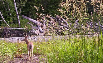 Port Hardy - A deer near the Quatse river