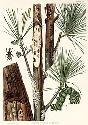 An illustration dated 1902 from the Seventh Report of the Forest, Fish and Game Commission of the State of New York, showing a variety of insect pests affecting white pine