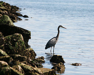 Myrtle Edwards Park - A great blue heron fishing along the shore in Myrtle Edwards Park