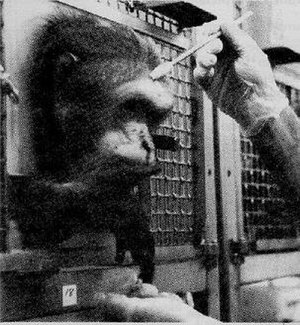 Animal testing on non-human primates - Image: Primate in cage restraint