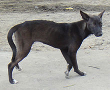 Askal Dog From Candon.jpg