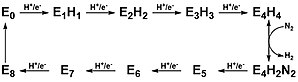 Nitrogenase - Figure 4: Lowe-Thorneley kinetic model for reduction of nitrogen to ammonia by nitrogenase.