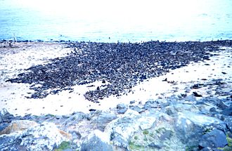 Fur seal - A fur seal rookery with thousands of seals