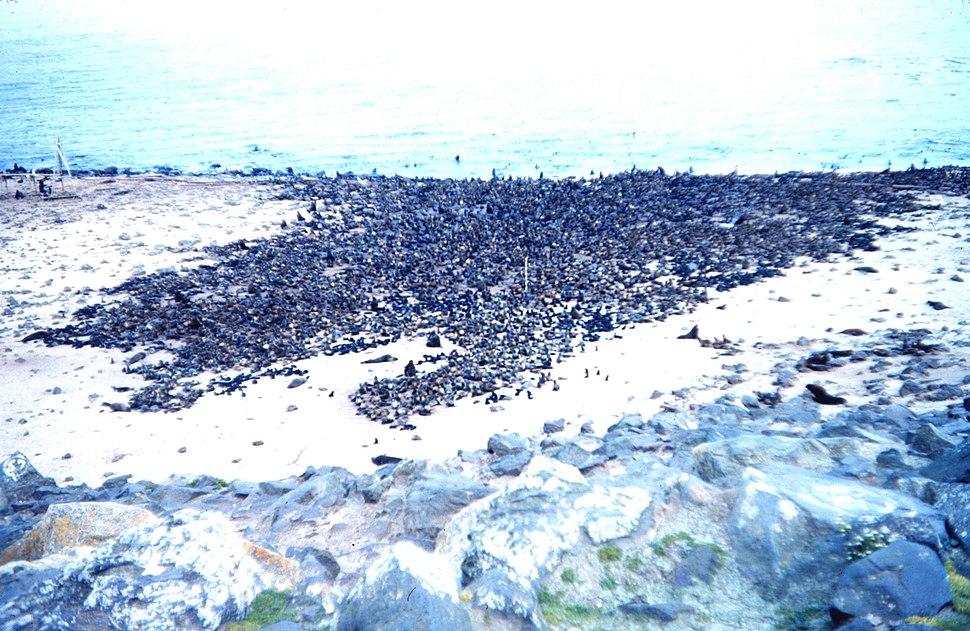 Thousands of fur-seals on a St. Paul beach - a fur seal rookery