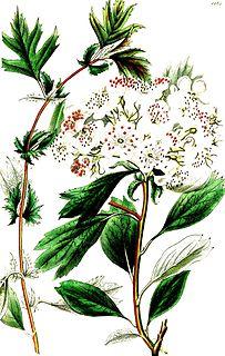 <i>Crataegus heterophylla</i> species of plant