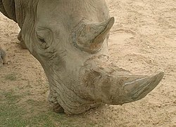 Folk beliefs about rhino horns are a major factor in their decline. (Tulsa Zoo)