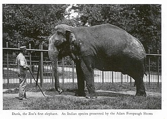 Dunk (elephant) - Dunk with a keeper.