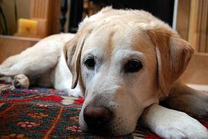 Golden Labrador Toby 2007