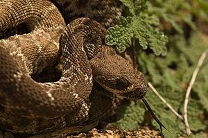 Crotalus ruber - C. ruber