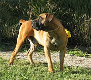 A two-year-old male Boerboel