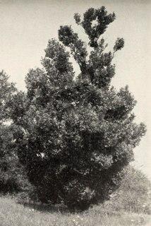 <i>Ulmus</i> Koopmannii Elm cultivar