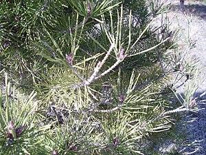 Neodiprion sertifer - Image: European Pine Sawfly damage