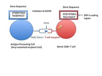 Minor histocompatibility antigen - Image: GVHD initiation