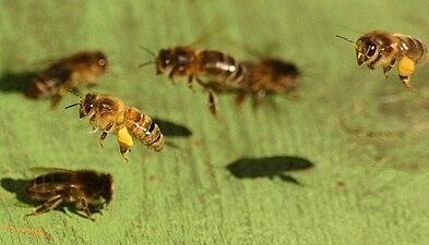 Honye Bee