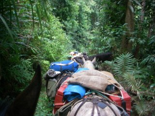 In the rainforest with packhorses