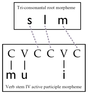 Apophony - A diagram of an autosegmental representation of the Arabic word Muslim within linguistic theory. This differs from an analysis based on apophony.