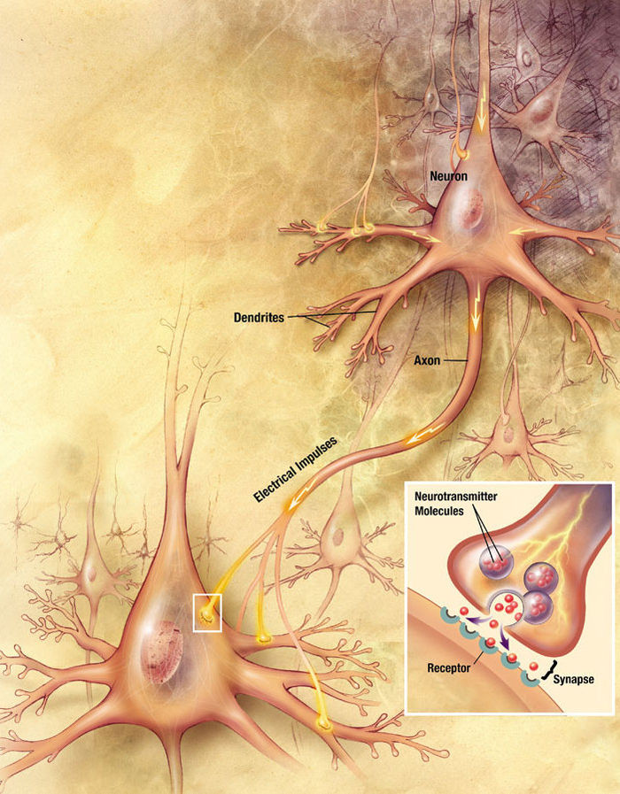 "neuron and chemical synapse The chemical synaptic transmission — how it happens  and they ""synapse"" on each other  the other neuron then ""translates"" the chemical signal back."