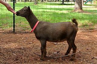 Nigerian Dwarf goat American breed of goat