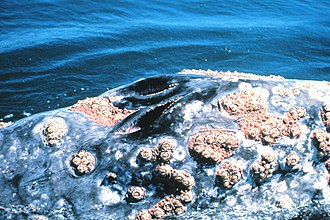 Blowhole (anatomy) - The V-shaped double blowhole of a gray whale
