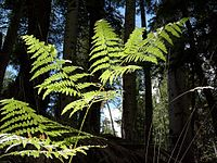 Fronds of the bracken fern