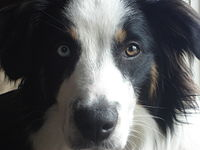 Another Tricolor English Shepherd
