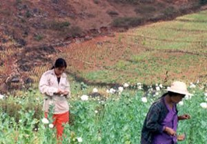 Single Convention on Narcotic Drugs - Image: Opium harvesters 3