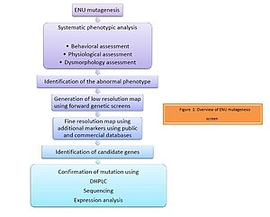 ENU - Figure 1: Overview of ENU mutagenesis screen.