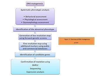 ENU - Figure 1: Overview of ENU mutagenesis screen.
