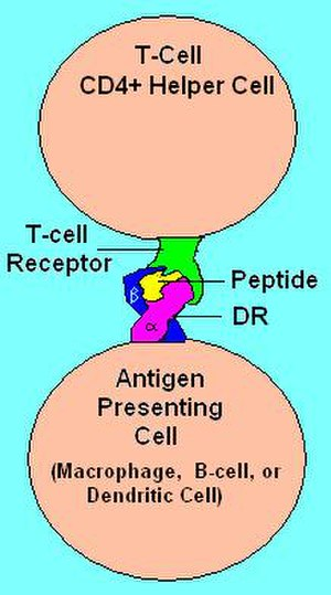 HLA-DR - Illustration of DR receptor presenting antigen to TCR on T-helper cell