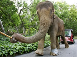 Gita (elephant) - Gita