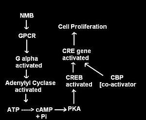 Neuromedin B - Figure 2 : Signal Cascade after NMB binding