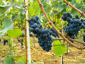 The international variety Pinot noir growing i...