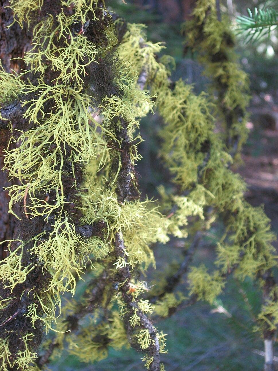 Fruticose lichen branches blackpine lake