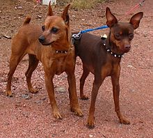 Miniature Pinscher - Wikipedia, the free encyclopedia