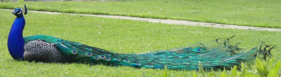 Peacock at cat rescue centre May 2017