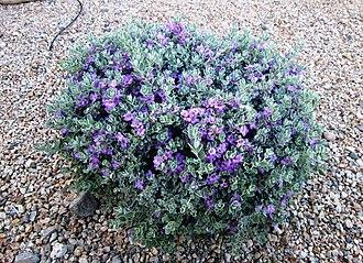 Leucophyllum frutescens - Ornamental Texas sage in bloom