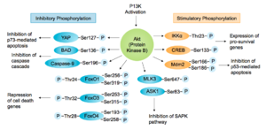 Akt/PKB signaling pathway - The substrates of Akt involved in promoting cell survival or blocking apoptosis