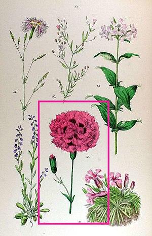 Dianthus plumarius - Flower atlas print from 1884